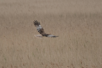 Male Marsh Harrier