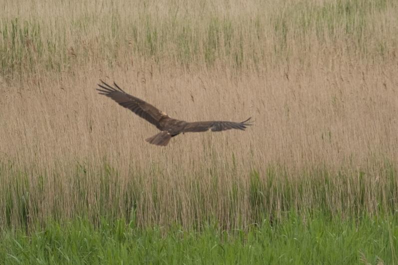 Female Marsh Harrier
