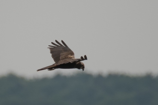 Female Marsh Harrier