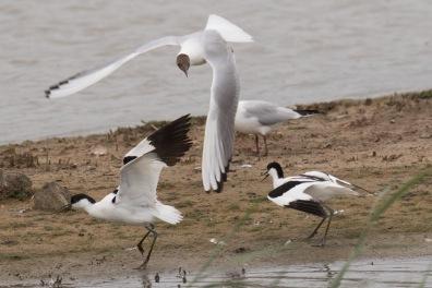 Black-headed Gull and Avocets