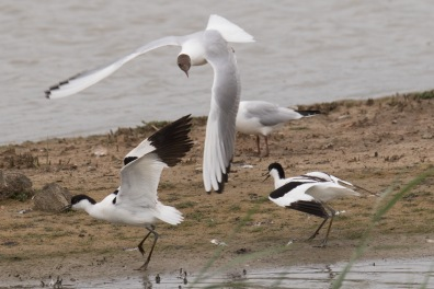 Black-headed Gull and Avocets