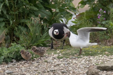 Barnacle Goose and Black-headed Gull