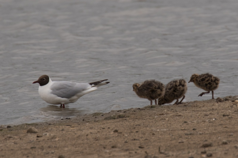 Black-headed Gull and chicks