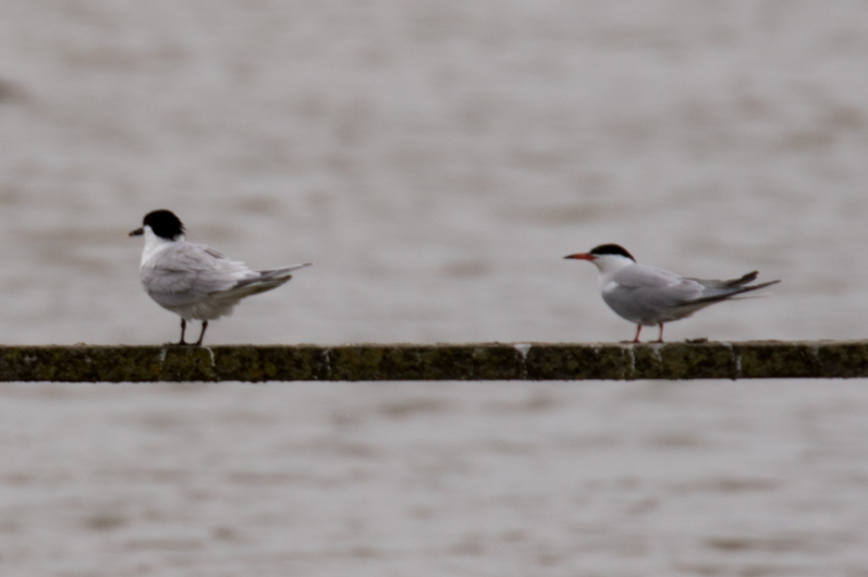 Sandwich Tern and Common Tern