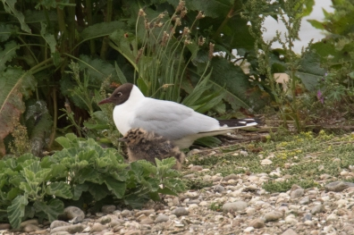 Black-headed Gull and chick