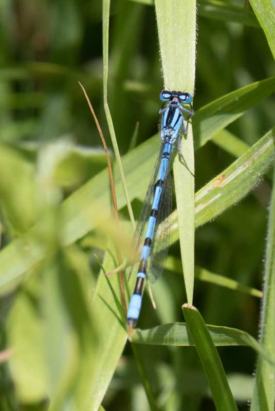 Bluetail Damselfly