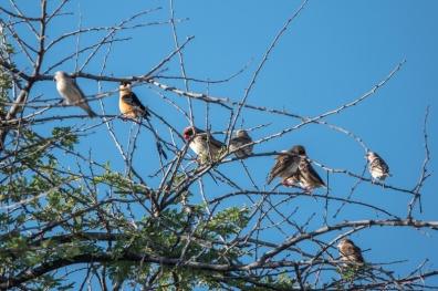 Shaft-tailed Whydah