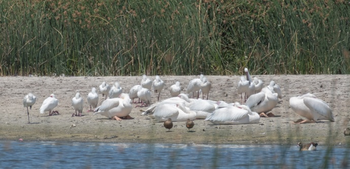 African Spoonbill and Great White Pelican