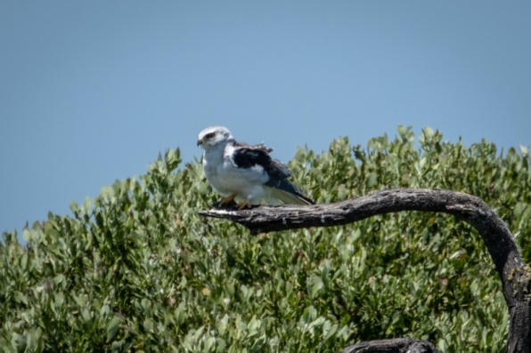 Black-shouldered kite ?