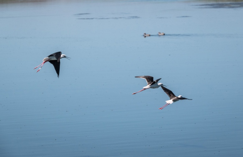 Blck-winged Stilt